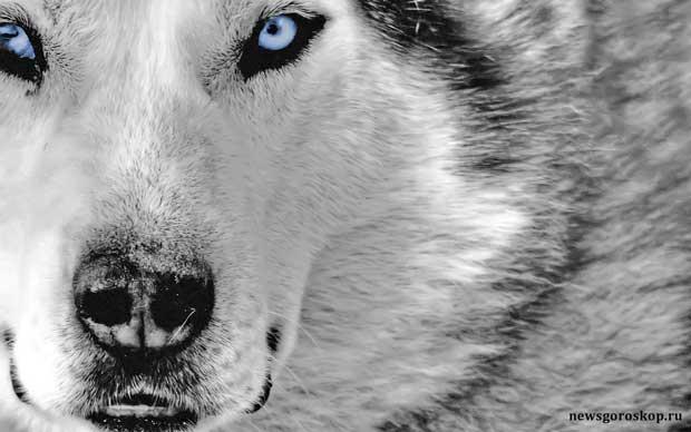 Волк(1909, 1941, 1973, 2005)