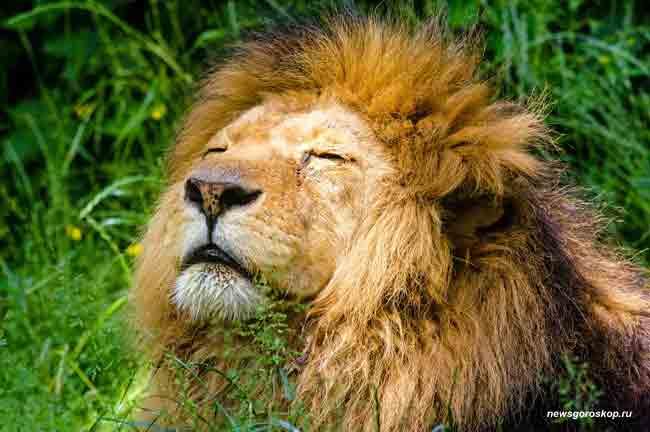 лев, царь