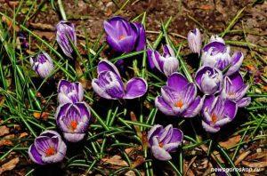 Крокус, цветок, март, весна