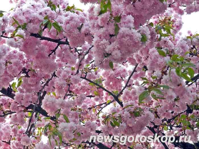 апрель, вишня, сакура, цветение