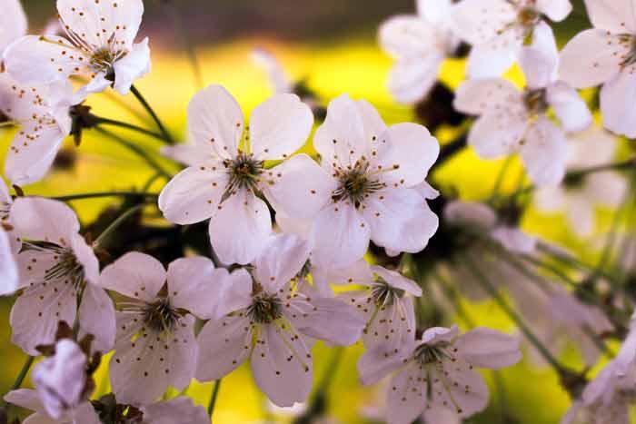 вишня, весна, цветенеи, апрель