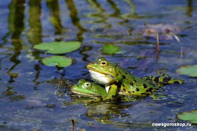 июнь, лето, пруд, лягушки