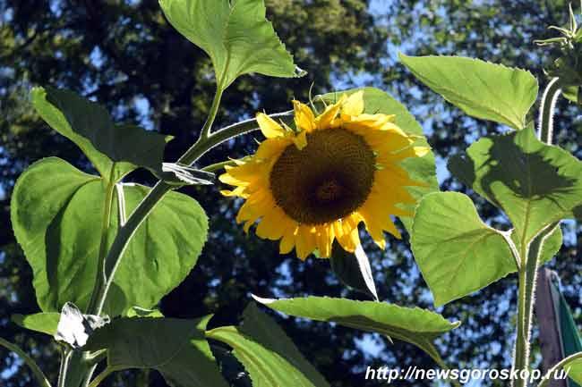 август, подсолнух, цветок