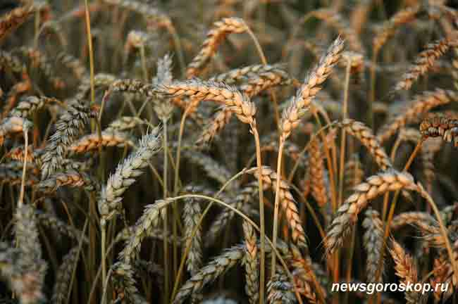 август, рожь, пшеница, колосок