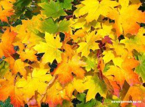 осень, клён, октябрь