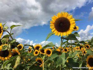 сентябрь, подсолнух, осень, цветок