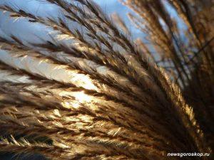 осень, рожь, пшеница
