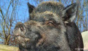 кабан, свинья