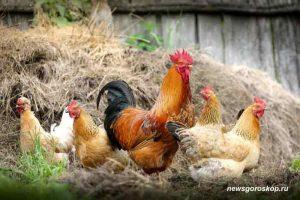 петух, курица