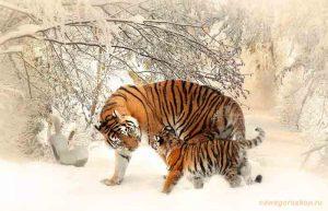 тигр, зима