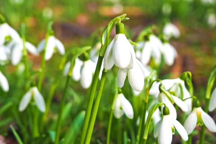 Цветы, подснежники, весна, март