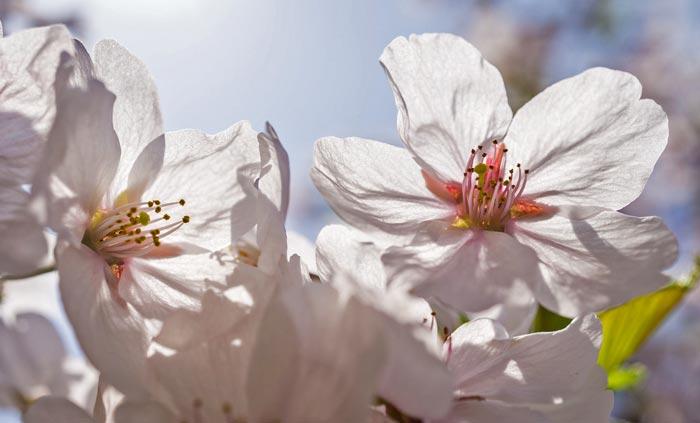 цветы, весна, апрель, яблоня, вишня