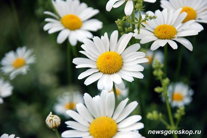 ромашка, цветы, июнь, лето