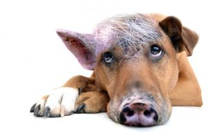 Собака, свинья