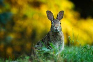 кролик, заяц
