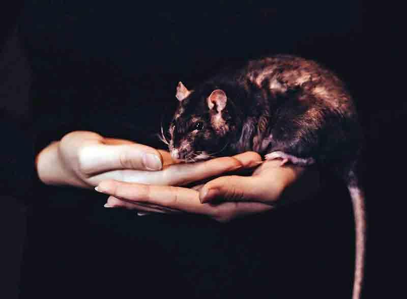 мышь, крыса
