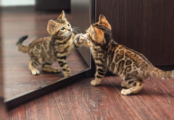 зеркало, кот, котенок, отражение