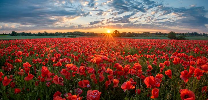 мак, цветы, поле мака